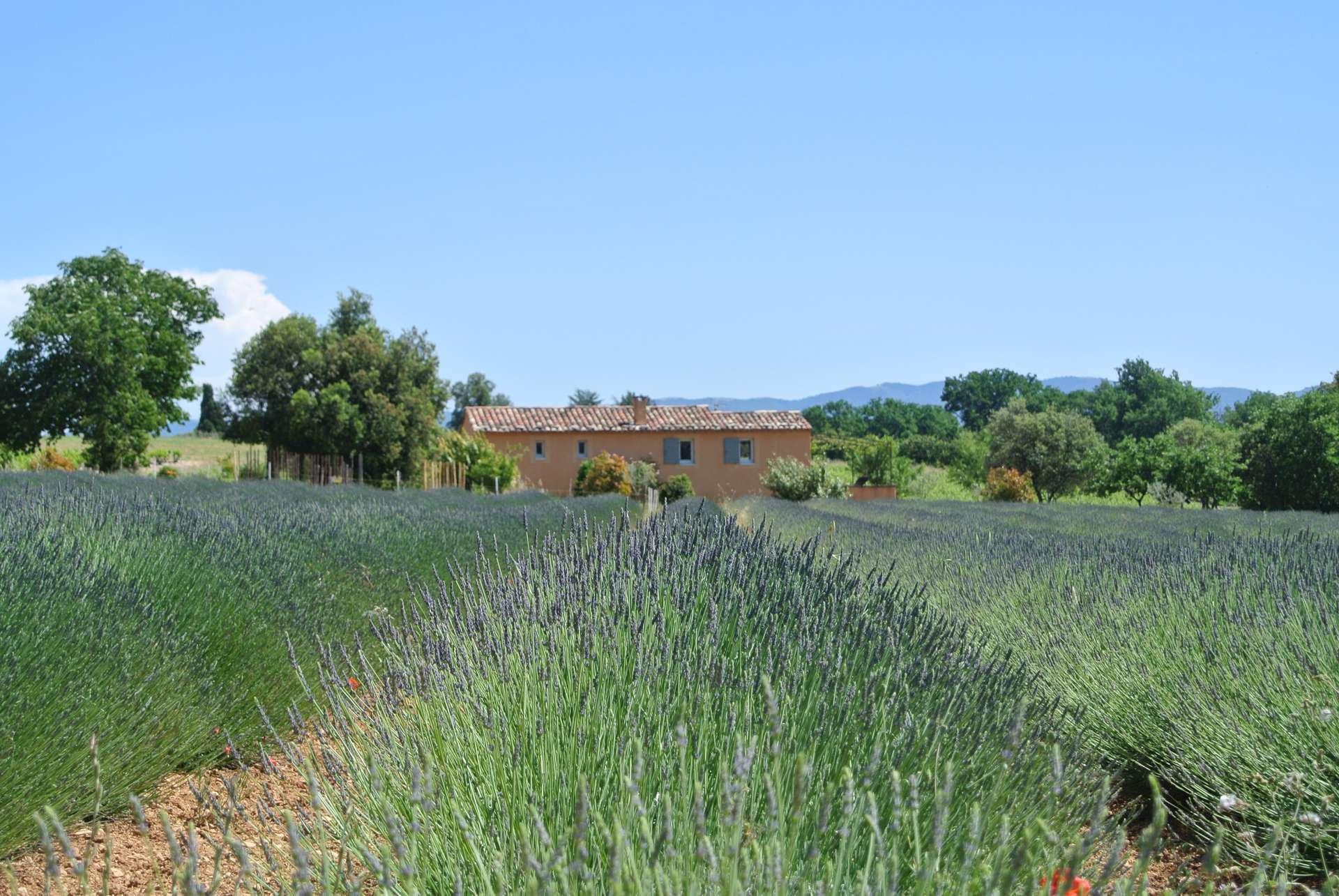Lavanda fields